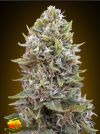 Cheese Berry Auto (00 Seeds)