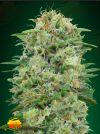 White Widow CBD (00 Seeds)