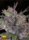 Oldtimer's Haze Regular (Ace Seeds)
