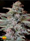 Snow Moon (Ace Seeds)