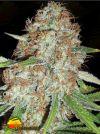 Blue Kripple (Dr Krippling Seeds)