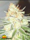 Cotton Candy Cane (Emerald Triangle)