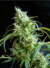 Flash Back #2 Feminised Seeds