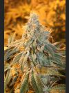 Fortune Teller Regular Seeds