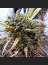 Hashplant Haze Regular Seeds