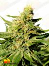 BCN Diesel CBD (Kannabia Seeds)