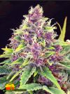 Purple Kush (Kannabia Seeds)