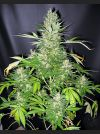 Master Kush Skunk Regular Seeds