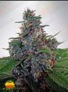 Blue Amnesia Auto (Ministry of Cannabis)