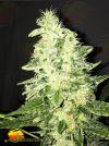 Supreme CBD Kush (Nirvana Seeds)