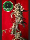 Roots Regular Seeds