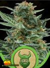 Royal Dwarf Auto (Royal Queen Seeds)