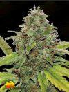 Velvet Bud (Seedsman)