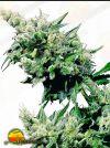 Hash Plant Regular (Sensi Seeds)