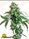 Jack Flash Regular (Sensi Seeds)