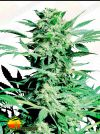 Shiva Skunk Regular (Sensi Seeds)