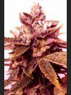Sour Blackberry Diesel Regular Seeds