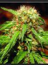 Sweet Tai Feminised Seeds